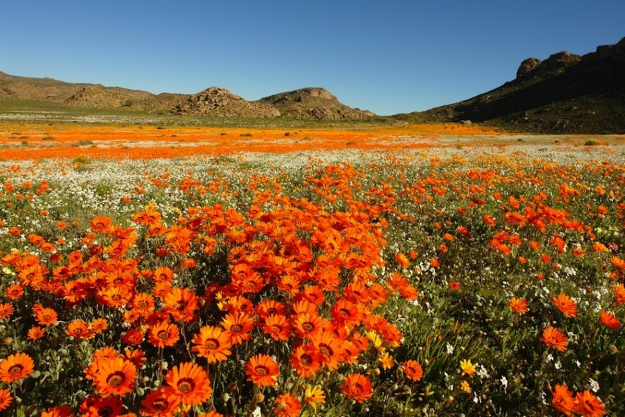 namaqualand-attraction-flower-path-of-tourism-north-cape-town-south-africa
