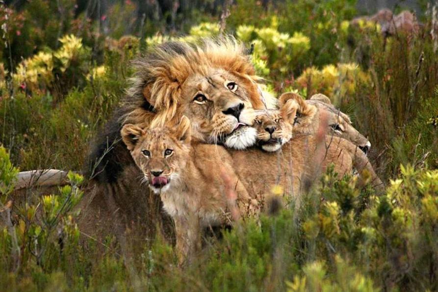 wildlife-lions