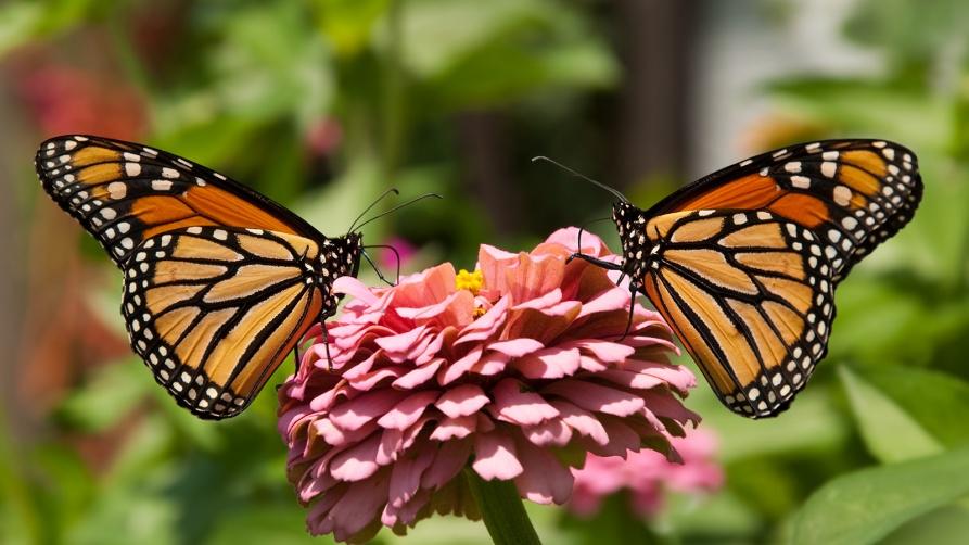 monarch-butterfly-two