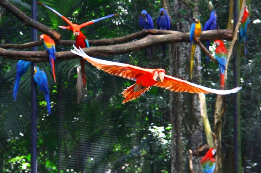 Arara vermelha - Parque das aves - Foz do Iguacu / Brasil