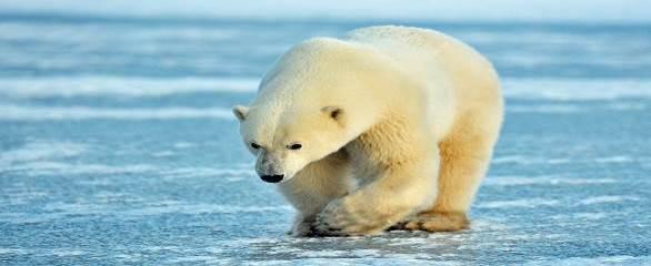 خرسهای قطبی چرچیل ، مانیتوبا